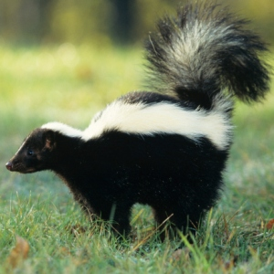 How To Get Rid Of Skunk Odor From Dog