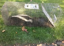 Skunk-Trapped